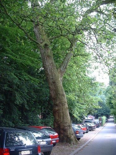 Platane à feuille d'érable – Bruxelles, Avenue du Vivier d'Oie, 5 –  01 Juin 2005