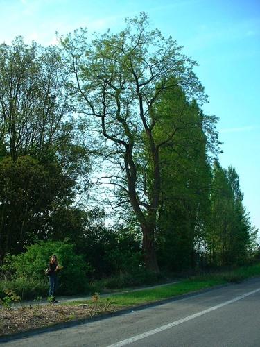 Robinier faux-acacia – Bruxelles, Avenue De Béjar, 22 –  23 Avril 2007