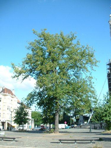 Tilleul commun – Bruxelles, Parvis Notre-Dame –  08 Août 2006