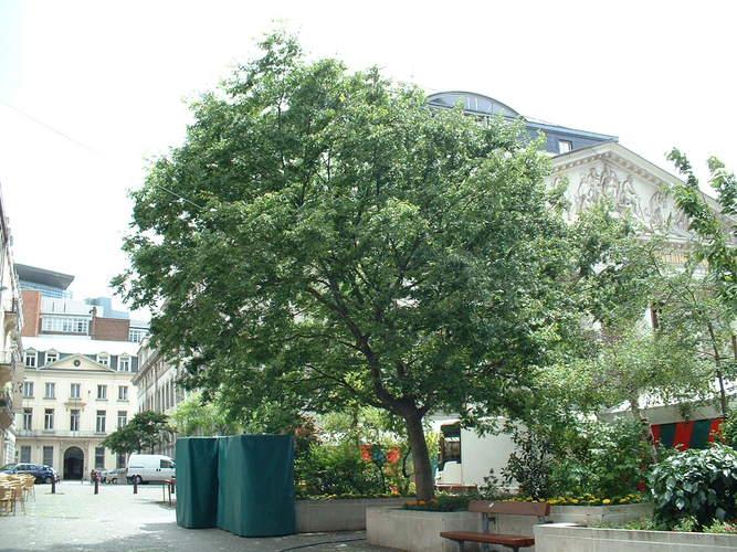 Zelkova du Japon – Bruxelles, Place de la Monnaie –  12 Juin 2002