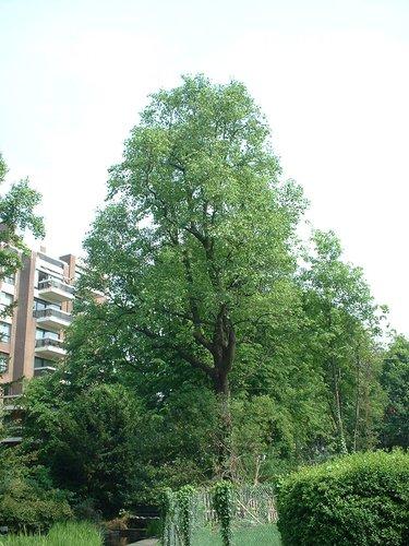 Tulipier de Virginie – Etterbeek, Parc Bosman, Rue Gérard –  08 Mai 2003