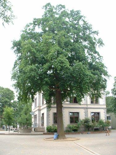 Zomereik – Etterbeek, Edmond Mesenslaan, 2 –  03 Juni 2003