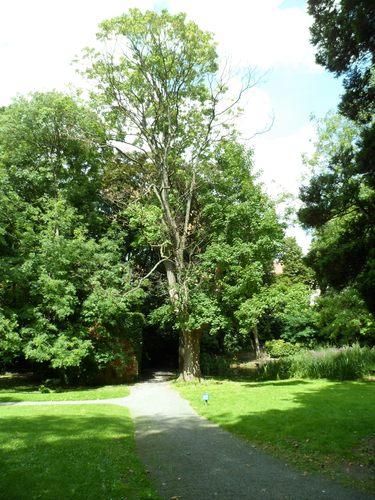 Erable sycomore – Etterbeek, Jardin Jean Félix Hap, parc –  16 Août 2012