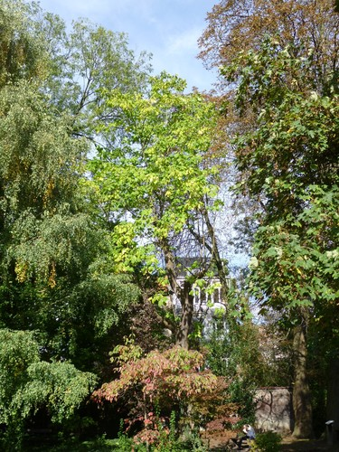 Catalpa rougeâtre – Etterbeek, Jardin Jean Félix Hap, parc –  15 Octobre 2014