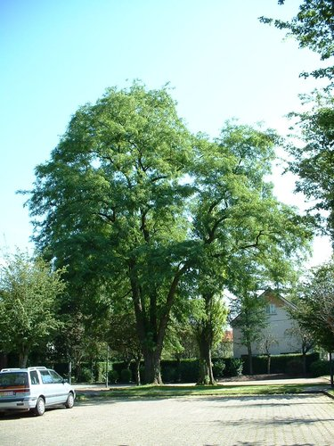 Gewone acacia – Evere, Strijdvlegellaan –  17 Juni 2002