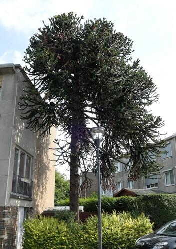 Araucaria du Chili – Evere, Allées de Provence, 11 –  06 Août 2019