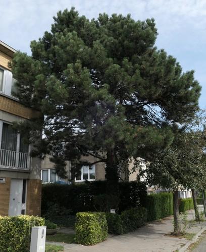 Pin noir – Evere, Allées de Provence, 50 –  06 Août 2019