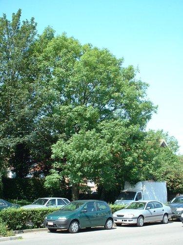 Frêne commun – Evere, Quartier Tornooiveld, Avenue de l'Optimisme –  17 Juin 2002