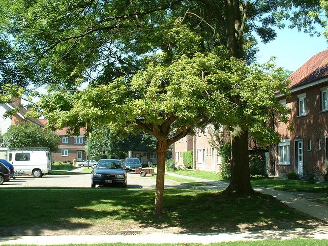 Néflier – Evere, Quartier Tornooiveld, Avenue de l'Armet –  17 Juin 2002