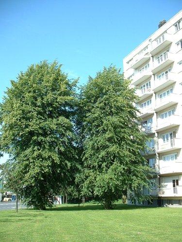 Tilleul du Caucase – Evere, Quartier Tornooiveld, Avenue du Destrier –  17 Juin 2002