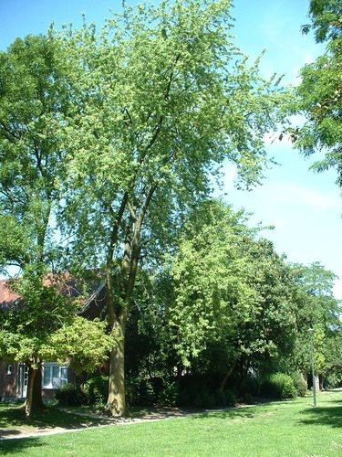 Erable argenté – Evere, Avenue de l'Armet –  17 Juin 2002