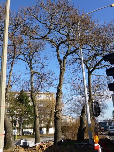 Paulownia impérial – Evere, Boulevard Léopold III –  18 Mars 2013