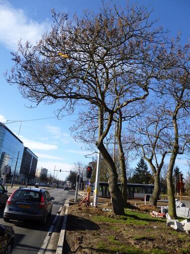 Koninginneboom – Evere, Leopold III-laan –  18 Maart 2013