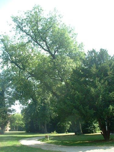 Frêne commun – Forest, Abbaye de Forest, parc –  12 Juillet 2006