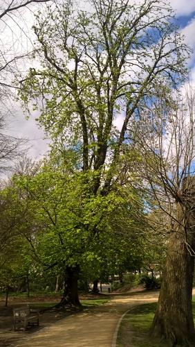 Marronnier commun – Forest, Parc Duden –  15 Avril 2016