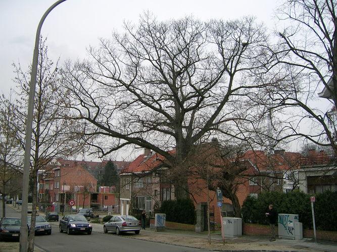 Chêne rouge d'Amérique – Forest, Avenue Kersbeek, 232 –  04 Février 2005