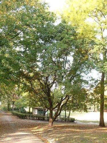 Erable de montpellier forest parc de forest parc acer - Jardin suspendu brussels montpellier ...