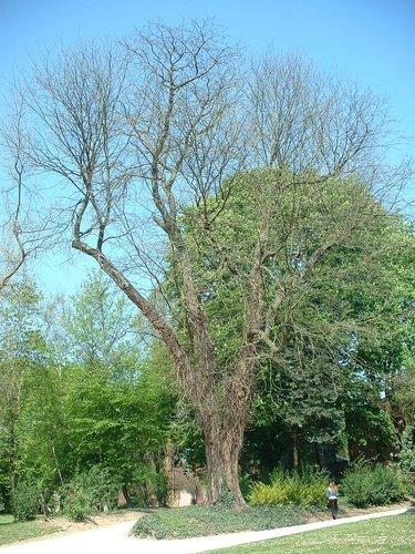 Févier sans épines – Anderlecht, Parc Astrid, parc –  17 Avril 2003