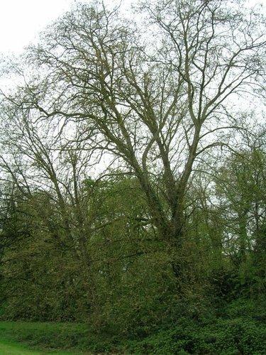 Gewone plataan – Ganshoren, Park van het Kasteel de Rivieren, Kasteeldreef, 66 –  19 April 2005