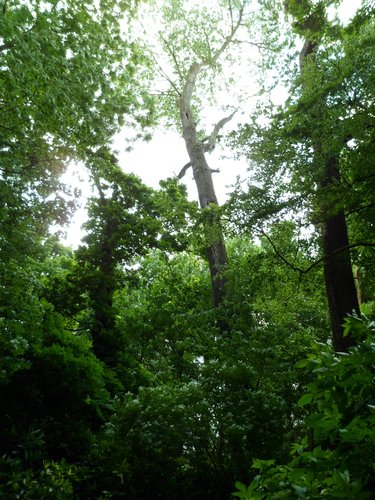 Peuplier du Canada – Ganshoren, Parc du Château de Rivieren –  08 Juin 2012