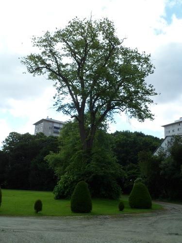 Tilleul à larges feuilles – Ganshoren, Parc du Château de Rivieren, Drève du Château, 66 –  08 Juin 2012