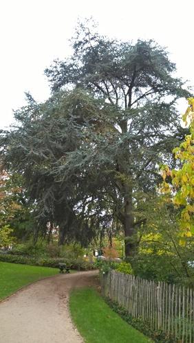 Cèdre bleu de l'Atlas – Ixelles, Jardins de l'Abbaye de la Cambre –  24 Octobre 2017