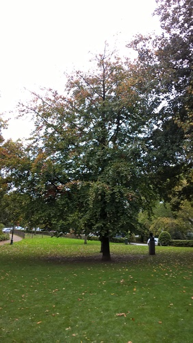 Hêtre d'Europe – Ixelles, Jardins de l'Abbaye de la Cambre –  24 Octobre 2017
