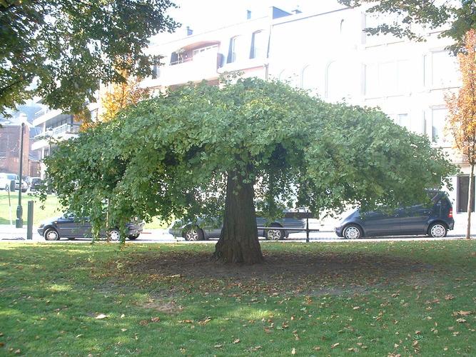 Ginkgo biloba 'Pendula' – Ixelles, Jardins de l'Abbaye de la Cambre, parc –  22 Octobre 2003