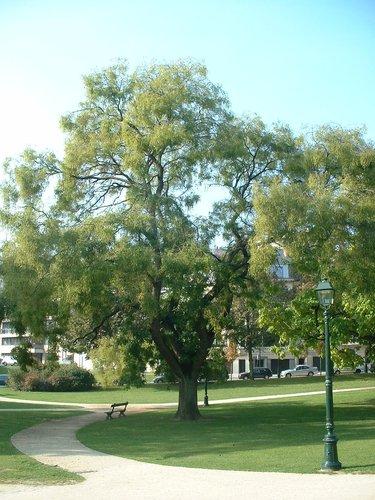 Sophora du Japon – Ixelles, Jardins de l'Abbaye de la Cambre, parc –  22 Octobre 2003