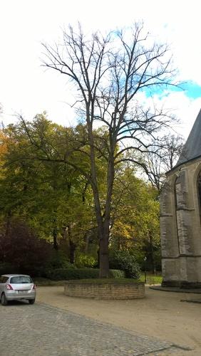 Tilleul commun – Ixelles, Jardins de l'Abbaye de la Cambre –  14 Novembre 2017