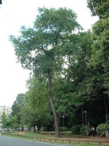 Févier d'Amérique – Ixelles, Allée H.Demarque, Chaussée de Boondael –  30 Juillet 2003