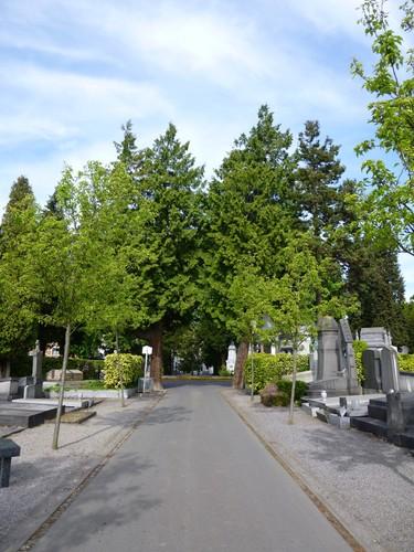 Thuja plicata – Elsene, Begraafplaats van Elsene –  17 April 2014