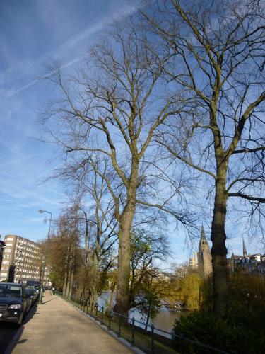 Erable argenté – Ixelles, Etangs d'Ixelles, Avenue du Général de Gaulle –  16 Décembre 2013