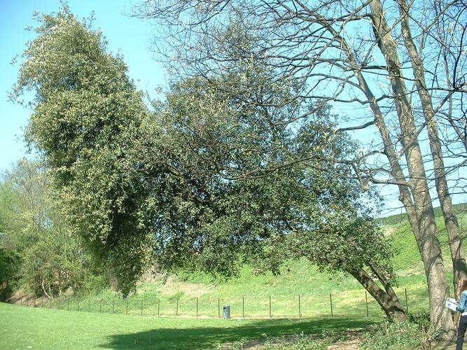 Chêne vert – Anderlecht, Parc Astrid, parc –  17 Avril 2003
