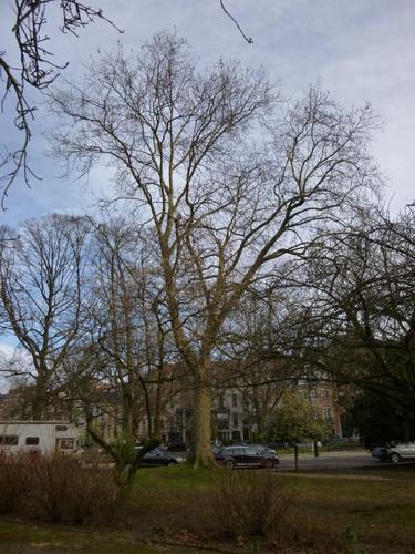 Platane à feuille d'érable – Ixelles, Etangs d'Ixelles –  07 Janvier 2014