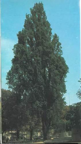 Peuplier d'Italie – Ixelles, Etangs d'Ixelles –  01 Janvier 1990