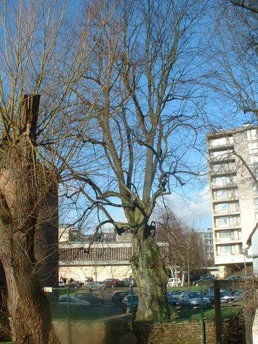 Tilleul à larges feuilles<br>Ixelles Square du Vieux Tilleul