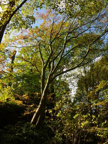 Erable de Grosser – Ixelles, Parc Tenbosch –  22 Octobre 2014