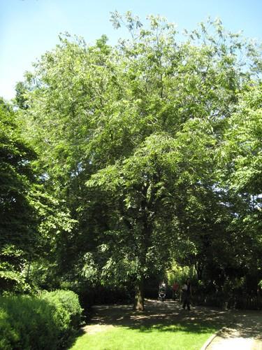 Netelboom, zwepenboom – Elsene, Tenboschpark –  24 Juni 2008
