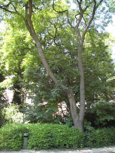 Chicot du Canada – Ixelles, Parc Tenbosch –  24 Juin 2008