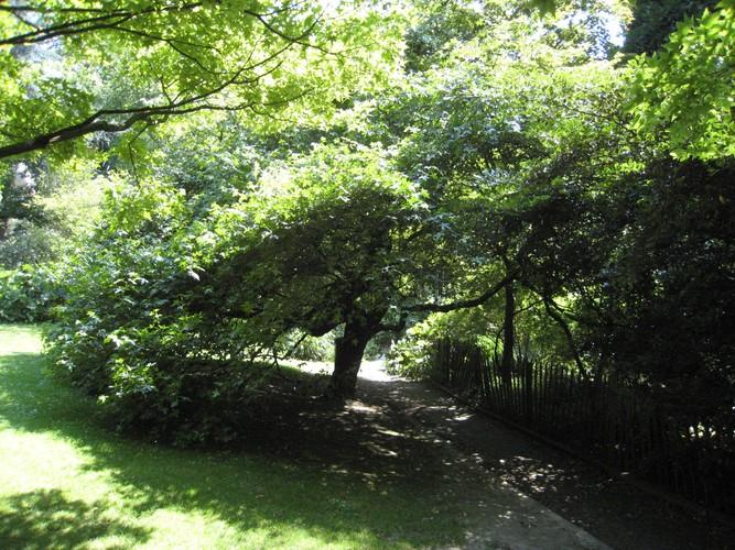 Copalme d'Orient – Ixelles, Parc Tenbosch –  24 Juin 2008