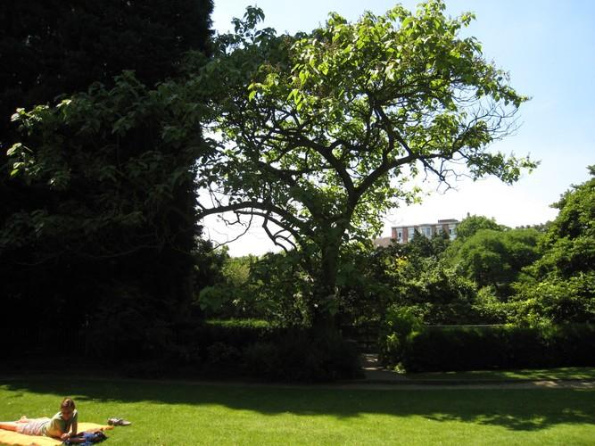 Paulownia impérial – Ixelles, Parc Tenbosch –  24 Juin 2008