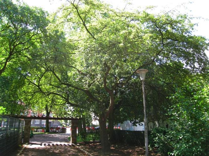 Malus sieboldii – Anderlecht, Parc Joseph Lemaire, Avenue Guillaume Stassart –  29 Juillet 2008