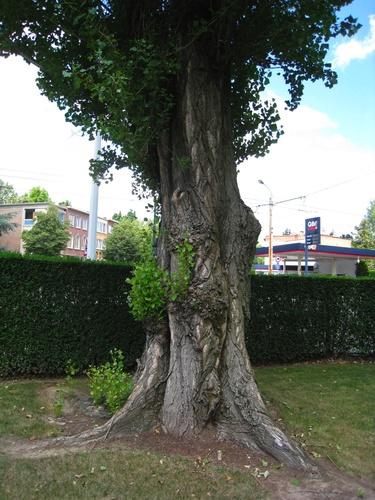 Italiaanse populier – Anderlecht, Joseph Lemairepark, Claude Debussystraat –  29 Juli 2008