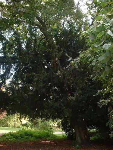 Spaanse aak of veldesdoorn – Jette, Heilige-Hartpark van Jette, Heilig-Hartlaan, 8 –  22 September 2003