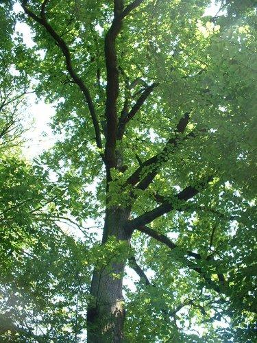 Chêne pédonculé – Jette, Parc Roi Baudouin phase 1, parc –  15 Juillet 2005