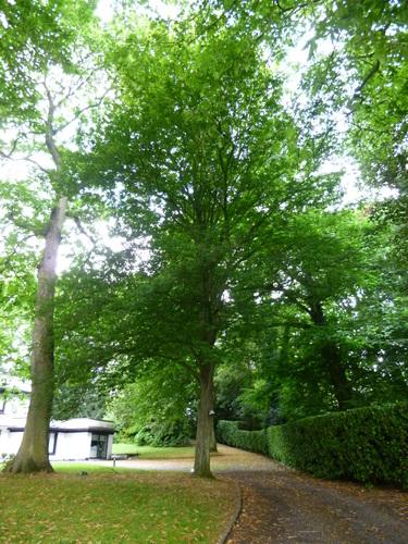 Carpinus betulus var. incisa – Jette, Parc Titeca, Drève de Dieleghem, 79 –  30 Juillet 2013