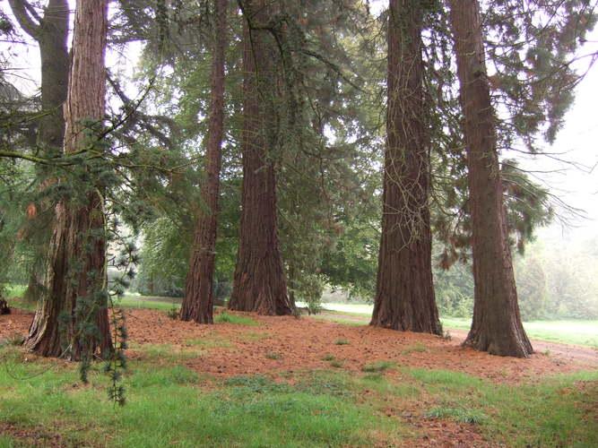 Sequoia géant – Jette, Parc Titeca, Drève de Dieleghem, 79 –  08 Octobre 2007