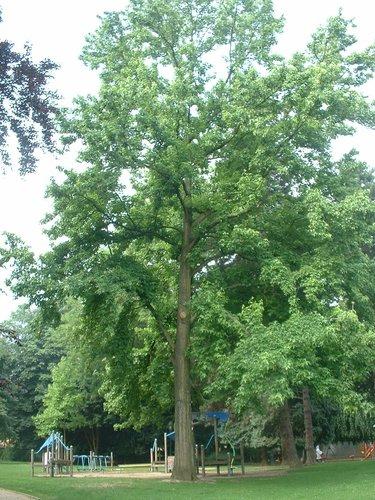 Copalme d'Amérique – Jette, Parc Garcet, parc –  13 Juillet 2005