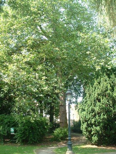 Platane à feuille d'érable – Jette, Parc Garcet, parc –  13 Juillet 2005